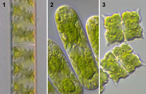 Spirogyra asexual reproduction fission