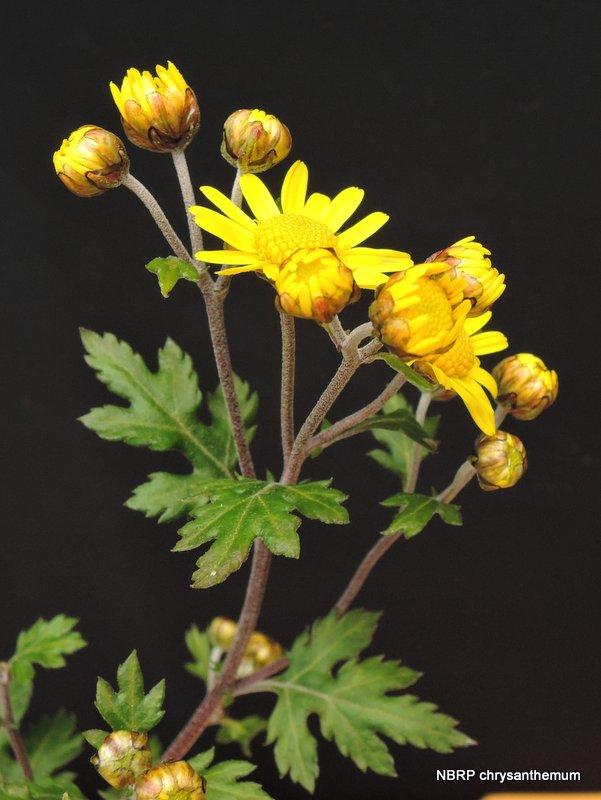 Atemberaubend Chrysanthemum indicum &KP_51