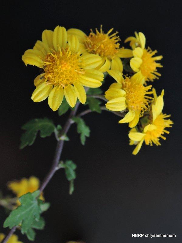 Etwas Neues genug Chrysanthemum indicum #XT_71