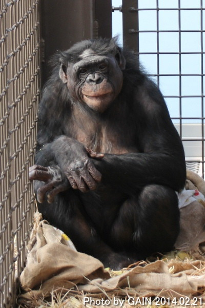 Gain Great Ape Information Network