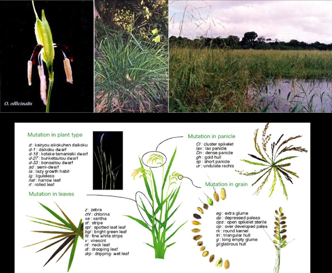 Fig.2:Morphological variations in wild rice species (upper) and mutant rice(lower)