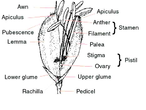 Education Organs Of Rice Flower