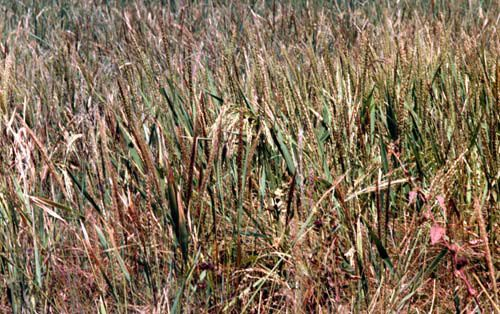 A field of O. glaberrima.